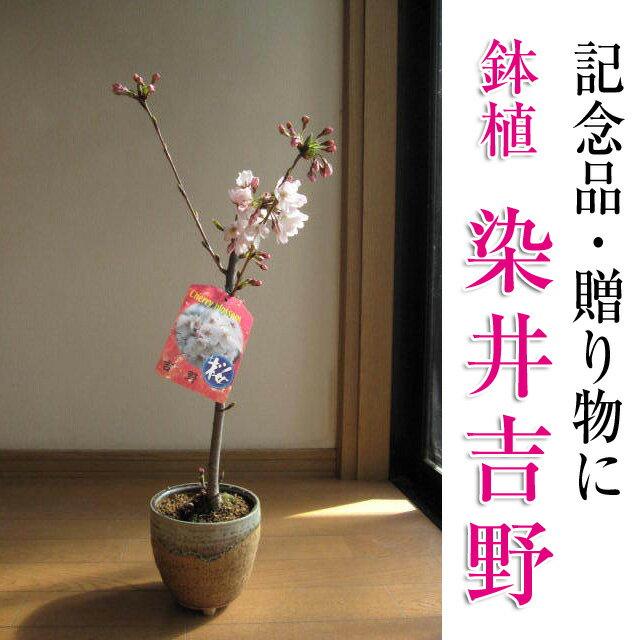 【染井吉野】染井吉野桜です。 さくら盆栽 日本の名花 ソメイヨシノ桜 鉢植えでは珍しい染井吉野桜です。【さくら盆栽】2019年4月の春に開花 自宅でお花見