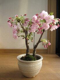 2021年4月末頃開花【桜盆栽】4月にはこんな感じで 咲きます。 盆栽: ツイン桜寄せ植え 信楽鉢入り 【桜満開】 桜盆栽の二本仕立 ぼんさい 【鉢植】春に開花 自宅でお花見