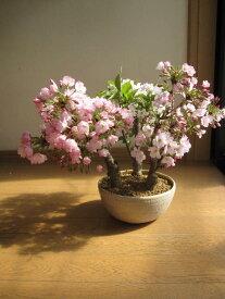 2019年4月末頃開花サクラのお好きな方にプレゼントに喜ばれる【桜盆栽】鉢花  桜盆栽 桜の盛り合わせ 3種類のサクラのお花がこの一鉢で楽しめます。 豪華桜3種桜寄せ植え桜盆栽 【鉢植】4月の春に開花 自宅でお花見