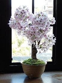 御殿場桜 信楽焼鉢入り  【鉢植】【さくら盆栽】2019年4月の春に開花 自宅でお花見