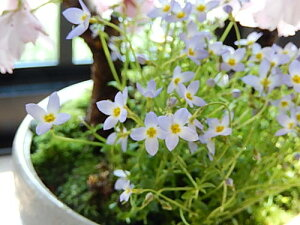 4月の春に開花八重桜【さくら盆栽】さくら盆栽 桜盆栽 ツイン桜盆栽 信楽焼鉢入り  【鉢植】お祝いのプレゼントにサクラ 自宅でお花見が楽しめます