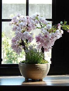 自宅でさくらのお花見4月に満開のお花見が楽しめますお祝い桜盆栽2021年の春に開花八重桜【さくら盆栽】 桜盆栽 ツイン桜盆栽 信楽焼鉢入り 【盆栽】育てる楽しみをプレゼントに  自宅