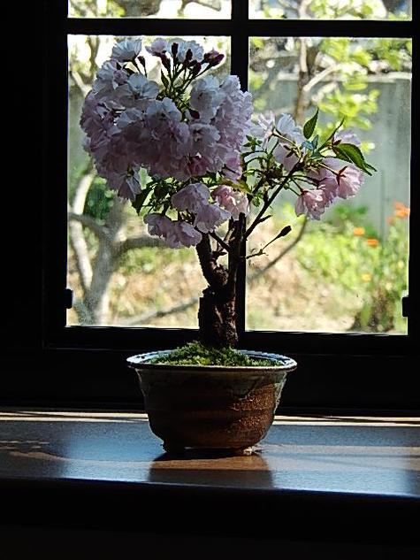 自宅でお花見が楽しめます 桜盆栽 旭山桜盆栽 信楽焼鉢入り【さくら盆栽】