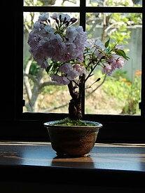 自宅でさくらのお花見を楽しむ2021年4月に開花ギフトミニ八重さくら盆栽 桜盆栽 旭山桜盆栽 信楽焼鉢入り【さくら盆栽】春に開花 自宅でお花見ができます