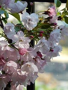 4月末頃開花お祝いのプレゼントに【さくら盆栽】4月中頃開花予定 さくら盆栽 桜盆栽 ツイン桜盆栽 信楽焼鉢入り  【鉢植】春に開花 自宅でお花見