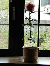 椿鉢植え 開花は 2月〜3月頃