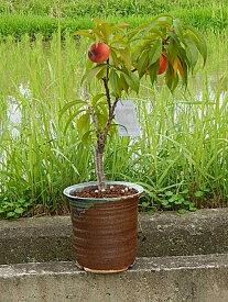 ギフト桃鉢植え6月頃に 実ができます  桃の木 ボナンザピーチ 小さい桃ができます