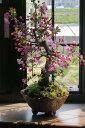 盆栽鉢植え花誕生日プレゼント信楽焼鉢入り【ハナカイドウ】2020年4月頃に開花 自宅でお花見
