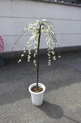 【盆栽 梅】 2019年開花 しだれ梅 白梅  八重咲の白色と 香りの贈り物 このサイズでは珍しい  しだれ白梅 【鉢植】