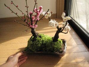 お祝いプレゼント【祝白梅】【盆栽 梅】 梅盆栽  2020年2月頃開花 紅白寄せ植え梅盆栽 紅梅 白梅 寄植え 【鉢植】