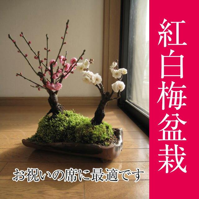 お祝いプレゼント【祝白梅】【盆栽 梅】 梅盆栽  2018年2月頃開花 紅白寄せ植え梅盆栽 紅梅 白梅 寄植え 【鉢植】