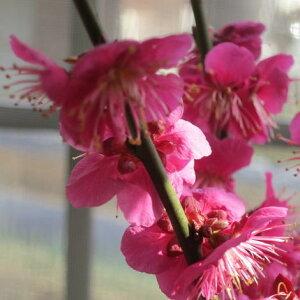 2021年2月頃開花【祝紅梅】【盆栽梅】梅盆栽  盆栽: 紅梅盆栽 梅盆栽は開花の梅花も香りもすばらしいです。玄関を彩る梅の花  紅梅 【鉢植】