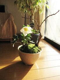 2019年【幸せの白い花】 【幸せギフト】 盆栽:桜と クリスマスローズの寄せ植え 【鉢植】クリスマスローズ 開花株