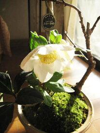 【幸せの白い花】 【幸せギフト】 盆栽:桜と クリスマスローズの寄せ植え期間限定販売です 【鉢植】クリスマスローズ 開花株 お届けは11月末頃〜