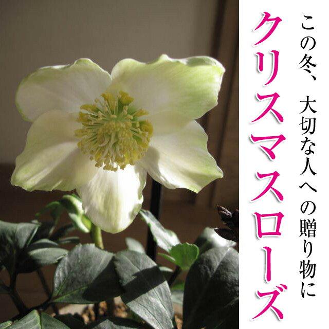 【幸せの白い花】 クリスマスのプレゼントに クリスマスローズ  ニゲル 【鉢植】