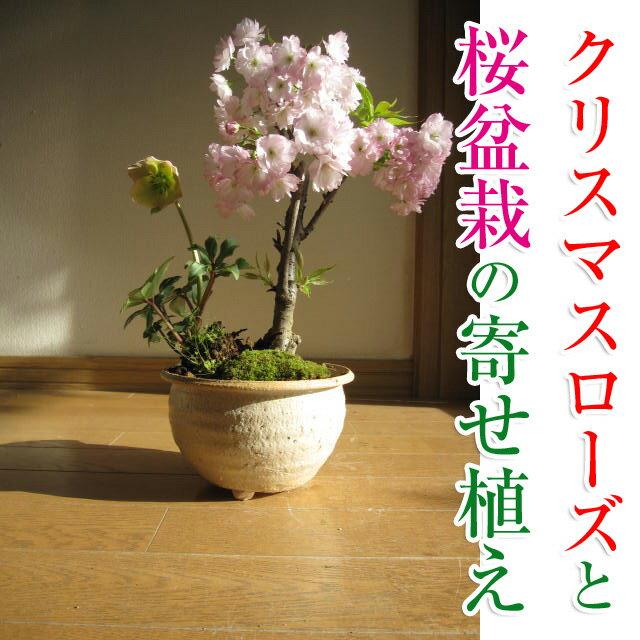【幸せの白い花】 2017年【幸せギフト】 盆栽:桜と クリスマスローズの寄せ植え期間限定販売です 【鉢植】クリスマスローズ 開花株 お届けは11月末頃〜