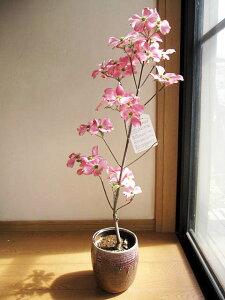 プレゼントの鉢花に2021年4月頃に開花のハナミズキ ピンク 花水木 シンボルツリー 【ハナミズキ 鉢植え】  ピンクのハナミズキ  贈り物に 花ミズキ  信楽鉢入り 春開花予定 鉢植え