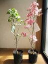 プレゼンに2021年4月〜5月に開花自宅のシンボルツリーに花水木苗 ハナミズキ 白花と赤花で紅白の花水木セット シンボ…