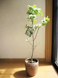 プレゼントに2021年5月頃に開花のハナミズキ 白 花水木 シンボルツリー 【ハナミズキ 鉢植え】 白のハナミズキ  贈り物に 花ミズキ  信楽鉢入り  春開花予定 鉢植え はなみずき