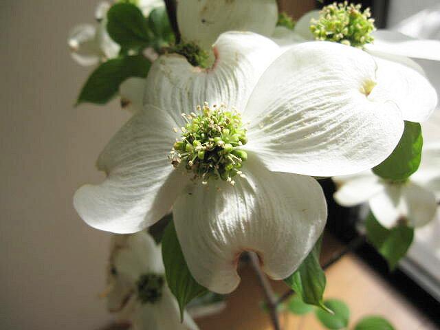 2019年4月頃開花鉢植えハナミズキ 白 花水木 シンボルツリー 【ハナミズキ 鉢植え】 白のハナミズキ  贈り物に 花ミズキ  信楽鉢入り   はなみずき