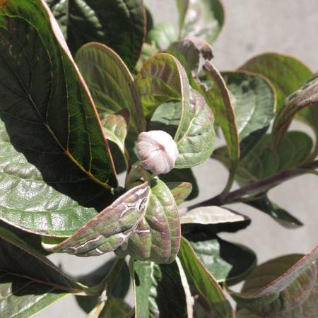 花水木 高さ 50センチ前後【信楽焼 鉢植え】  はなみずき ピンク花  ピンクのハナミズキ