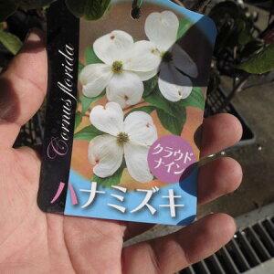 葉の花水木 高さ 50センチ前後【信楽焼 鉢植え】  はなみずき 白花  白のハナミズキ 春に開花します