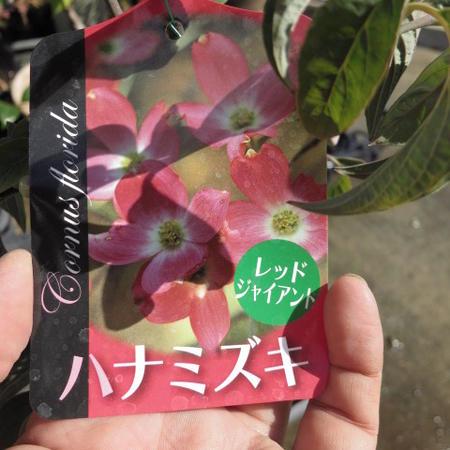 花水木 高さ 50センチ前後【信楽焼 鉢植え】  はなみずき 赤花  赤のハナミズキ