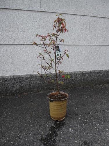 ヤマボウシ シンボルツリー 【鉢植え】  ホンコンエンシス   月光