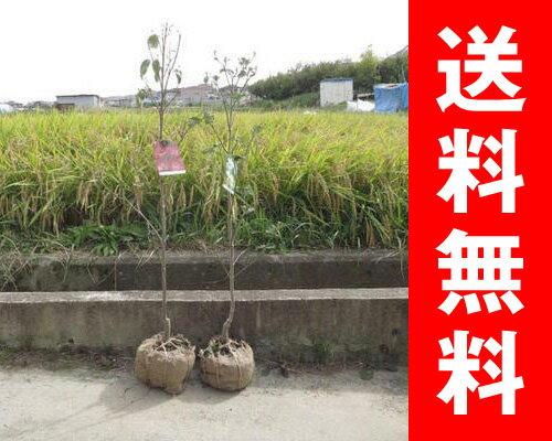 【ハナミズキ 苗木】 ハナミズキ苗寝巻 紅と白ハナミズキ2本セット はなみずき 花水木 シンボルツリー