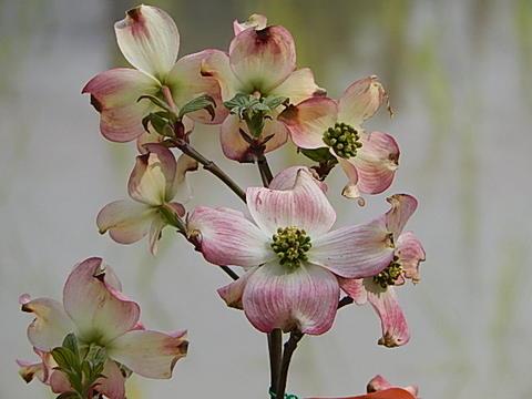 2019年4月頃開花ハナミズキ鉢植え信楽焼  アメリカハナミズキ鉢植え  はなみずき  ピンク花