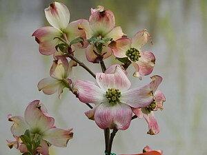 2021年4月頃開花ハナミズキ鉢植え信楽焼  アメリカハナミズキ鉢植え  はなみずき  ピンク花