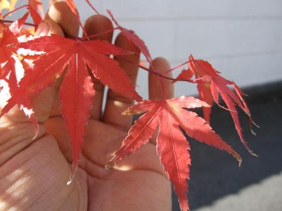 【紅葉】 イロハモミジ 寄せ植え風もみじ 三本〜四本仕立 山もみじ  高さ 約1.5M〜 【もみじ苗】 【庭木】