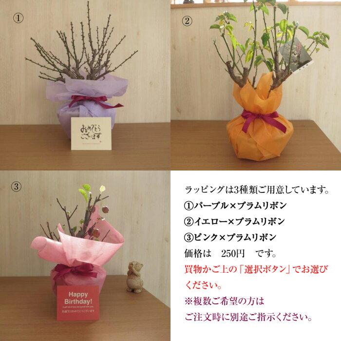【ユリ鉢植え】カサブランカ鉢植え純白で巨大輪の優雅な花鉢植の贈り物お届けの際カサブランカは蕾の状態です三本仕立て蕾の状態でのお届けとなります。敬老の日のプレゼントに綺麗なお花の贈り物