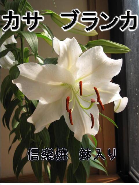 【ユリ鉢植え】カサブランカゆり鉢植え純白で巨大輪の優雅な花鉢植の贈り物お届けの際カサブランカは蕾の状態です三本仕立て蕾の状態でのお届けとなります。