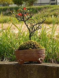 長寿梅 チョウジュバイ 長寿梅鉢植え 可憐な 真っ赤な花 樹勢も強健で、初めての方にもオススメ 信楽焼き鉢入り