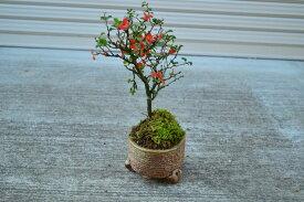 長寿梅 チョウジュバイ 長寿梅鉢植え 可憐な 真っ赤な花 樹勢も強健で、初めての方にもオススメ 信楽焼き鉢入り【年末年始のお祝い お歳暮に】