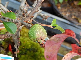 長寿梅チョウジュバイ【長寿梅鉢植え】可憐な真っ赤な花樹勢も強健で、初めての方にもオススメ【信楽焼き鉢入り】