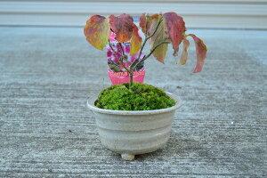ハナミズキ【ハナミズキ鉢植え】春は花が咲き 秋は哀愁漂う紅葉と真っ赤な可愛い種がなり 初夏には新緑の息吹を感じ 冬には春を待つ蕾 年中楽しめる贈り物に喜んでもらえる人気の