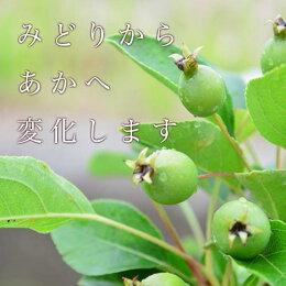 【ヒメリンゴ】果実ができる楽しい盆栽姫リンゴ盆栽鉢植え◎父の日ギフト父の日プレゼントに花実ともに楽しめる盆栽