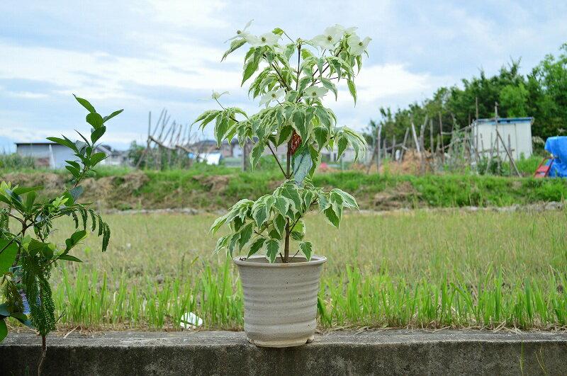 【ヤマボウシウルフアイ】白い班入りの葉とキレイな白い花【信楽陶器鉢】
