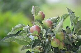 【実のなる鉢植え】アルプス乙女リンゴの鉢植え見てよし食べてよし楽しみ育てる鉢植え◎父の日プレゼント父の日ギフトに