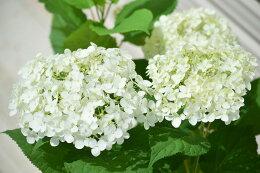 2019年母の日ギフト開花は6月頃アナベル鉢植え人気の白いアジサイアナベル