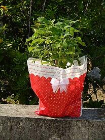 母の日2021年プレゼントに6月開花☆開花は 6月頃 アナベル鉢植え今期開花終了しており、剪定した状態でのお届けになります