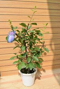 プルーン スタンレー 西洋すもも 実の成る木 収穫を楽しむ ドライフルーツ 果樹