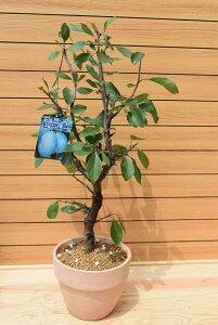 プルーン スタンレー 西洋すもも 実の成る木 収穫を楽しむ 可愛い鉢 ドライフルーツ 果樹
