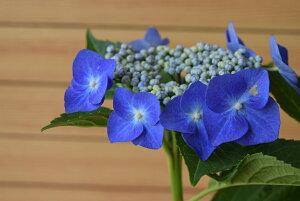 【ブルースカイ】紫陽花 額紫陽花 贈り物 切り花 鉢植え 庭木 初心者でも育てやすい
