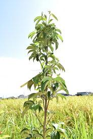 2021年開花苗です【ヤマボウシ ホンコンエンシス苗 月光苗】シンボルツリー 常緑性 白い花びら 赤い実 甘い実 庭木