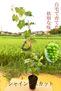 シャインマスカット苗 育てて食べる 食べる皮も食べれるブドウ高級ブドウ シャインマスカット