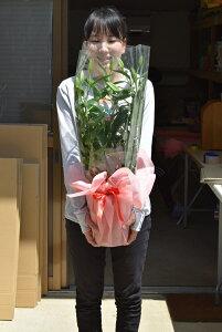 母の日ギフト大輪の花 カサブランカ 5月1日より お届け【ユリ鉢植え】カサブランカ ゆり鉢植え  純白で巨大輪の優雅な花 鉢植の 贈り物  お届けの際カサブランカは蕾の状態です