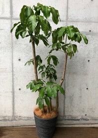 観葉植物 ブラッサイア(Schefflera actinophylla)現品販売1点もの鉢カバー付き自社配送東京23区限定商品送料無料 お祝い 移転祝 開業祝高さ約180センチ×幅約80センチ 幹太タイプ